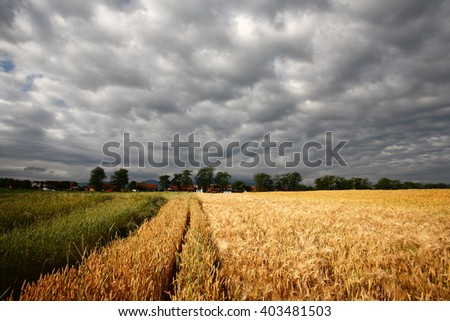 Wheat and blue sky with clouds