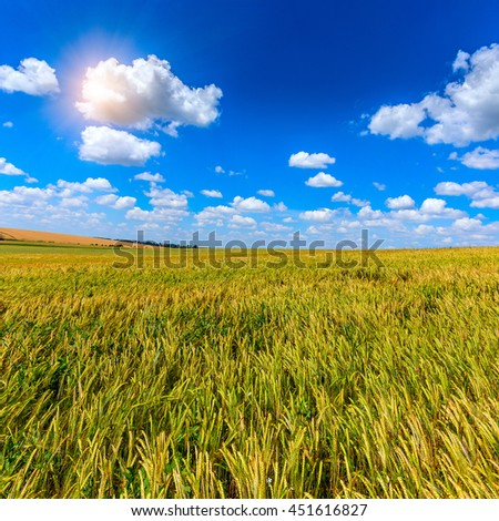 Wheat field and perfect blue sky background. A fresh crop of rye.  Rich harvest Concept. majestic rural landscape field green wheat  under shining sunlight.  creative picture of nature.