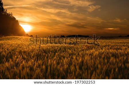 Wheat field at sunset, detail