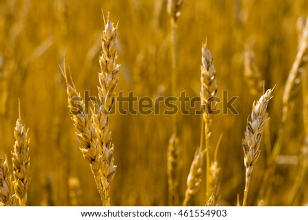 Wheat field. Beautiful ears of golden wheat