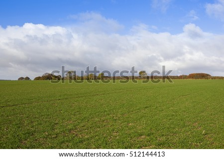 wheat field in autumn with colorful trees and hedgerows in a yorkshire wolds landscape under a blue sky with white clouds