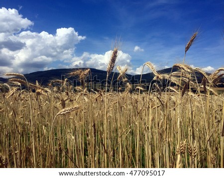 Wheat field in French countryside with hills and blue sky in the background