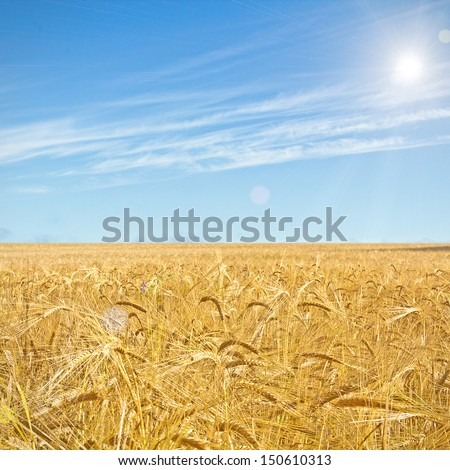 Wheat Field On Blue Sky Backdrop With Sunlight. High quality stock photo.
