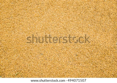 Wheat grains, Rice, pile of paddy, whole rice, harvested rice, raw rice, whole grains, Asian staple