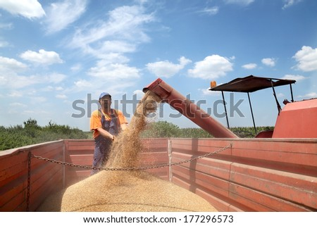 Wheat harvest, farmer and grain auger of combine pouring crop