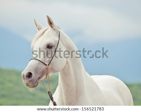 white amazing arabian stallion at sky background