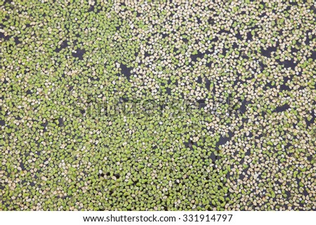 White and green duckweed background