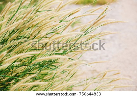 soft wheat background meadows grass swaying wind that may stock photo 515535190