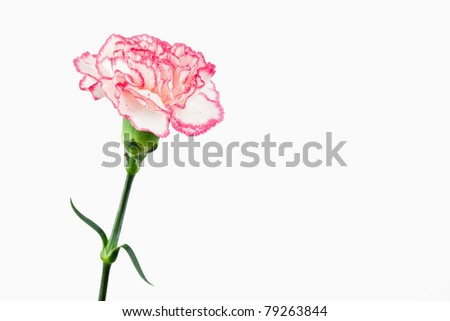 White and pink carnation against a white background