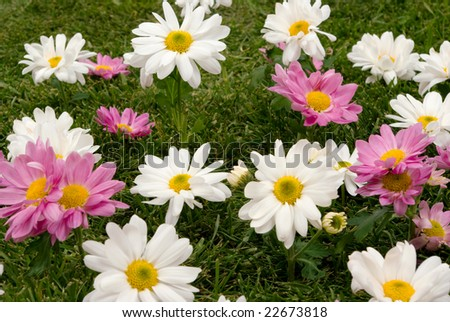White and pink daisies on grass