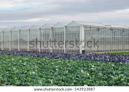 White and red headed cabbage Field in front of Dutch greenhouses in The Netherlands.