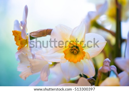White and yellow easter lilly on light background, back-light