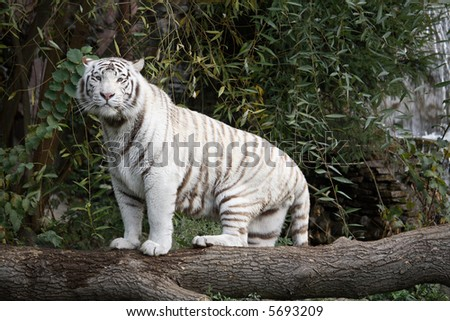 White Bengal Tiger in a close up view portrait