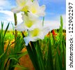 White blooming gladiolus in the field - stock photo
