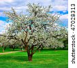 white blossom of apple trees in springtime - stock photo