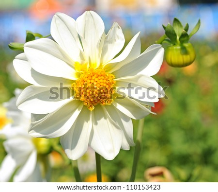 white dahlia flower with yellow center over green grass