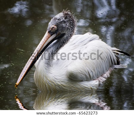 White dalmatian pelican swimming in a pond