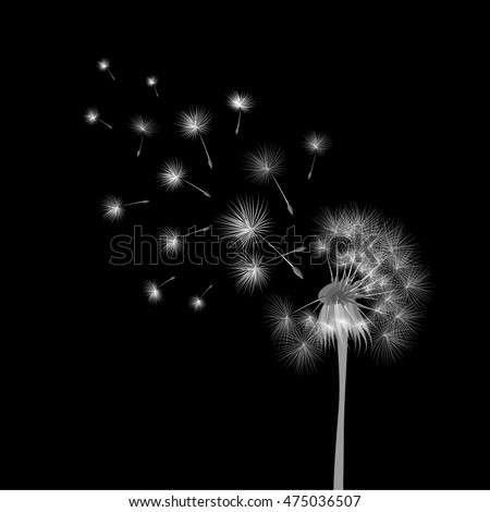 White dandelion on black background. Flying spores. Concept of wishing, tenderness and summer time.