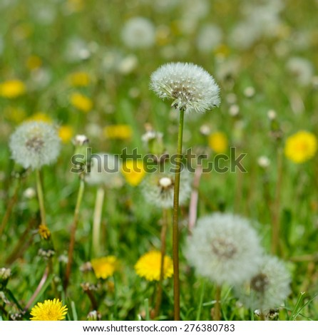White dandelions on the meadow. Shallow depth of field