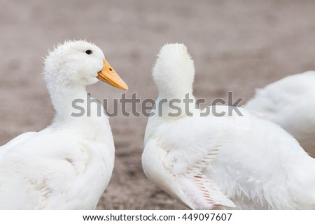 White duck in a farm pond