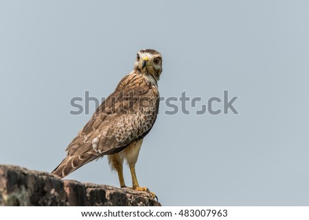 White Eyed Buzzard perched for portrait