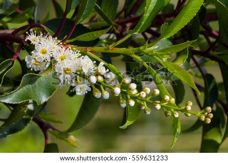 White flowers raceme of Portugal laurel
