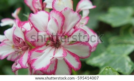 Plants flowers stock photo 684275701 shutterstock white flowers with pink edges mightylinksfo