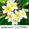 White frangipani flowers on the little tree in garden. - stock photo