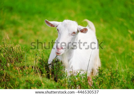 White goat on a green meadow eats a grass. Portrait of a domestic Cattle largely. Walking of a goat.