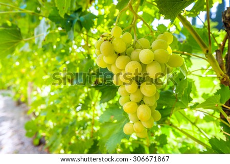 Wine Grapes On Cordon Wineyard Before Stock Photo ...