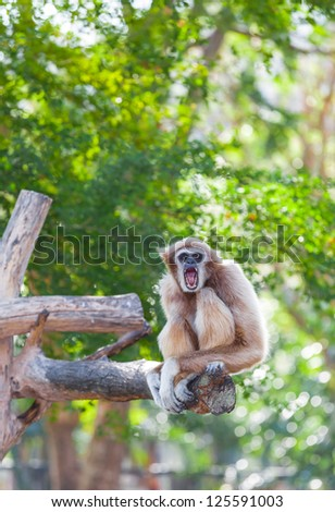 White-handed gibbon(Hylobates lar) is yawning and look at us