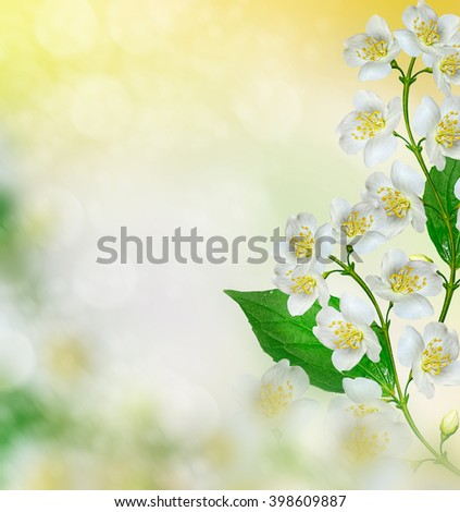 White jasmine flower. The branch delicate spring flowers