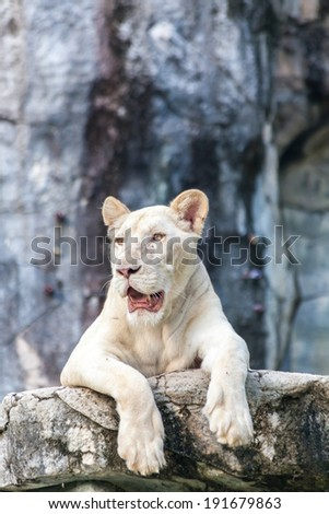 White lion resting on wood
