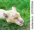 White lion sleeping on green grass - stock photo