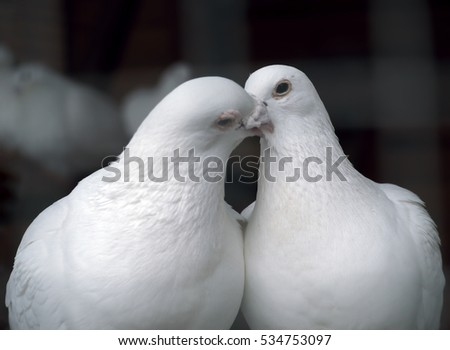 White pigeons in love kissing