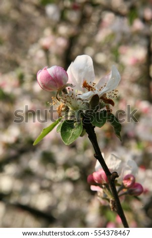 white-pink flowers of the apple tree
