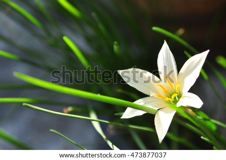White Rain Lily (Zephyranthes spp.)