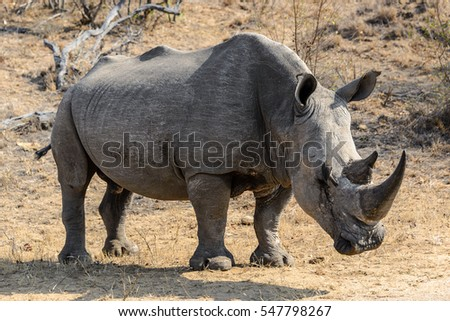 White rhino or square-lipped rhino (Ceratotherium simum) in Kruger National Park, South Africa