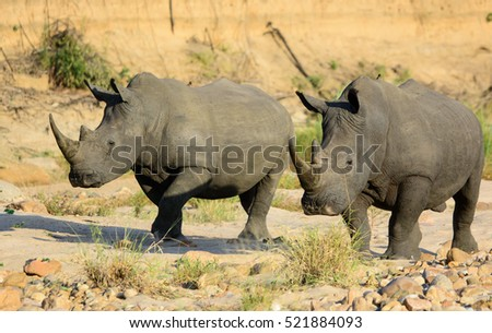 White Rhinoceros Pair, South Africa