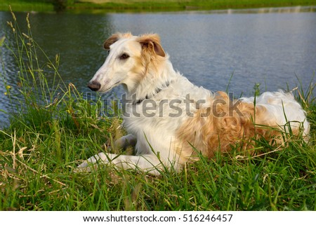 White russian wolfhound dog on a river background