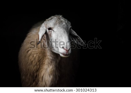 White sheep portrait on black background.