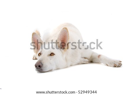 white shepherd in front of a white background