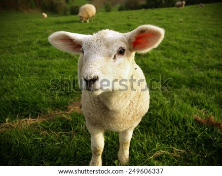 White Spring Lamb Stands in a Green Meadow