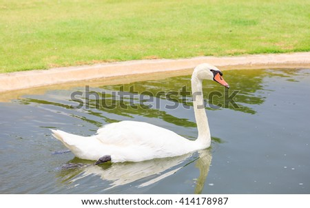 white swan in the pool