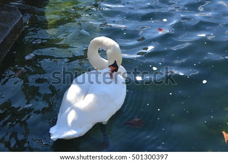 white swan in the water's edge