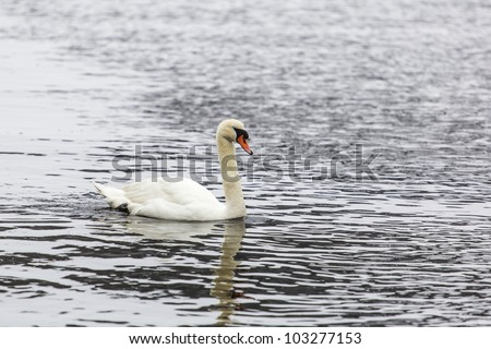 White Swan on the Thames River