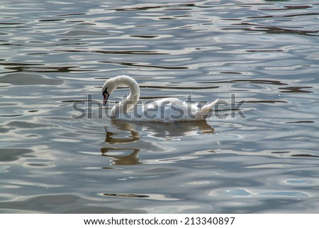 White swan swiming in a river