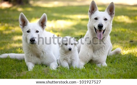 White Swiss Shepherds