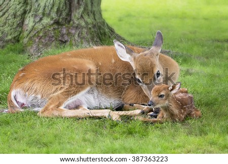 White-tailed doe cleans off her newborn fawn.  Placenta emerging from doe.  Springtime in Wisconsin.
