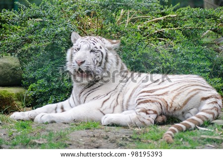White Tiger lays down with mouth open